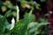 雨の庭にカラー_170621