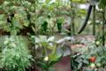菜園の野菜_170702