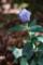 キキョウの花蕾_170702