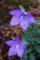 キキョウの開花_170704