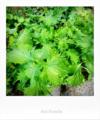 菜園の青ジソ_170721