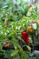菜園のピーマン_170815