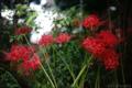 雨の庭_ヒガンバナ_170917