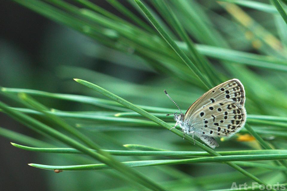 雨の合間に_松の枝で休息するシジミチョウ_171014