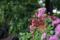 雨の庭-エントランスの鉢植え_171019