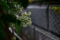 雨の庭_未だ青い萬両の実_171021
