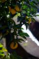 庭の柚子_171119