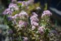 庭風景171126_ピンクのデイジー