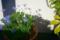 玄関脇の鉢植え_171217
