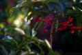 正月の庭風景_180104_萬両