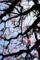 満開の梅その2_180304