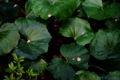 ツワブキに落ちた梅の花弁_180311