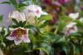 雨の庭風景-クリスマスローズ_180321