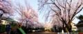 沼津市花園公園の桜_180329