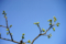 柿の新芽_180401
