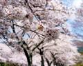 富士霊園の桜_180407