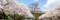 富士霊園桜並木_180407