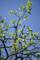 柿の若葉_180408