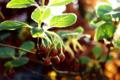 ドウダンツツジの花蕾_180412