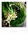 収穫洗浄した野蒜_180415