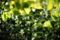 柿の若葉の向こうに甘夏の花_180430