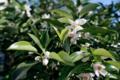 柚子の花_180504