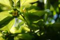 庭風景_柿の花_180506