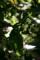 庭風景_檀の花_180506