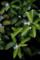 雨の庭風景-柚子の花_180507