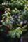 雨の庭風景-梅の新枝と若葉_180507