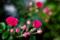 庭風景_180520_ミニバラ-2