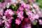 庭風景_180520_ミニバラ-1