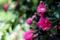 庭風景_180520_ミニバラ-3