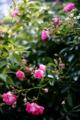 庭風景_ピンクのミニバラ_180520