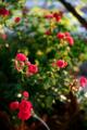 紅のミニバラ_180521