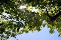 桜葉の木陰_180601