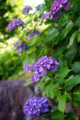 庭風景_180603_紫陽花
