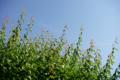 庭風景_180603_梅の新枝
