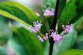 ムラサキシキブの花_180607
