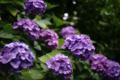 紫陽花_180611