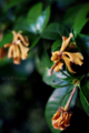 クチナシの花の終わり_180614