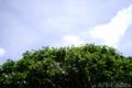 梅の実収穫-枝打ち後の梅_180617