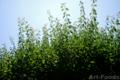 梅の実収穫-枝打ち前の梅_180617