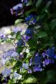 晴天下の紫陽花_180617
