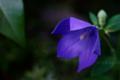 桔梗の開花_180619