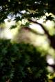 楓の木陰_180625