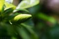 八重咲梔子の花蕾_180628