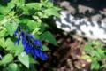 雨上がりの庭風景_180630_セージ
