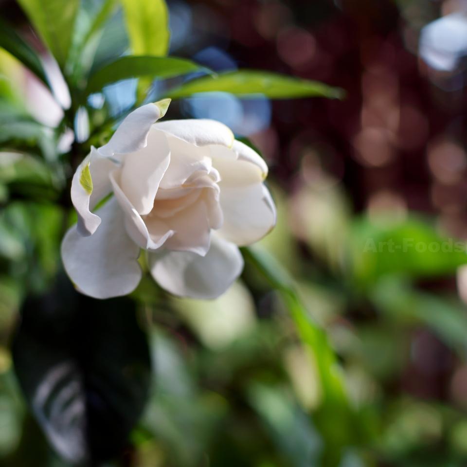 八重咲梔子の開花_180630