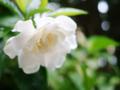 八重咲の梔子がほぼ全開_180701